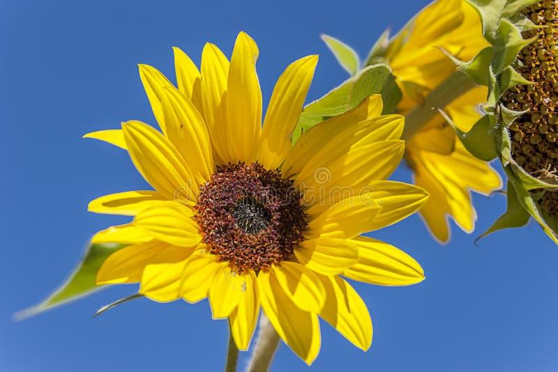 Helle gelbe Sonnenblume lizenzfreies stockfoto