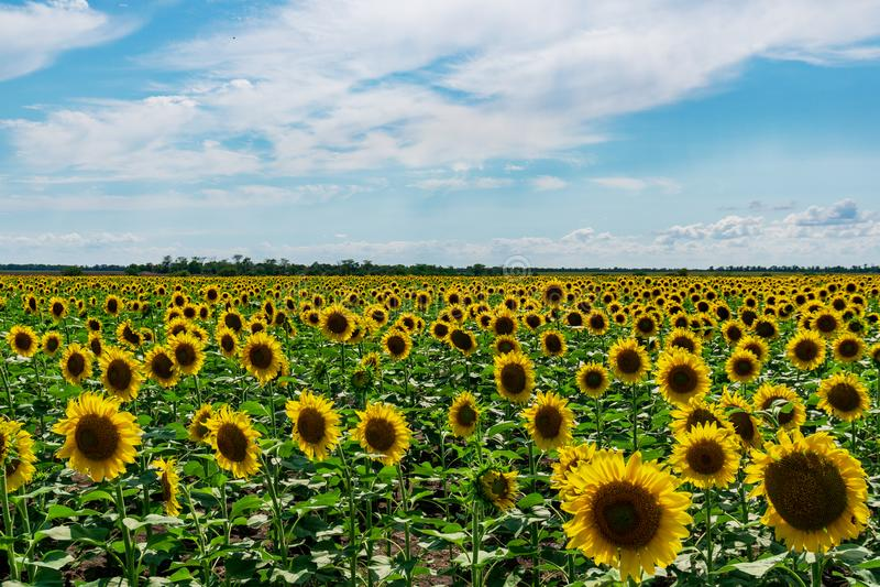 Helle gelbe Sonnenblumen an auf Hintergrund des blauen Himmels lizenzfreie stockfotos