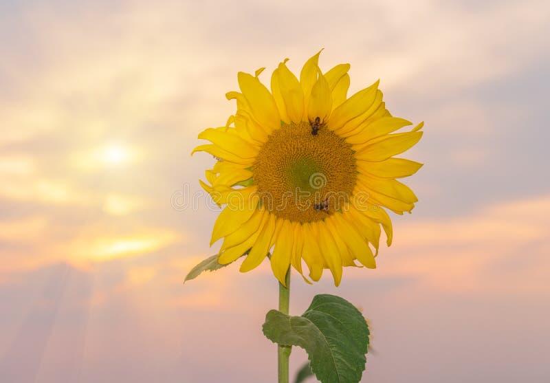 Helle gelbe Sonnenblumen an auf Hintergrund des blauen Himmels stockbilder