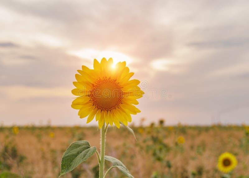 Helle gelbe Sonnenblumen an auf Hintergrund des blauen Himmels stockfotografie