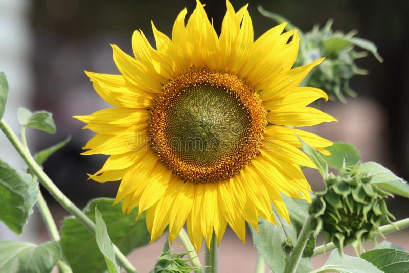 Helle gelbe Sonnenblumen-Blumenblätter und Staubgefässe lizenzfreies stockfoto