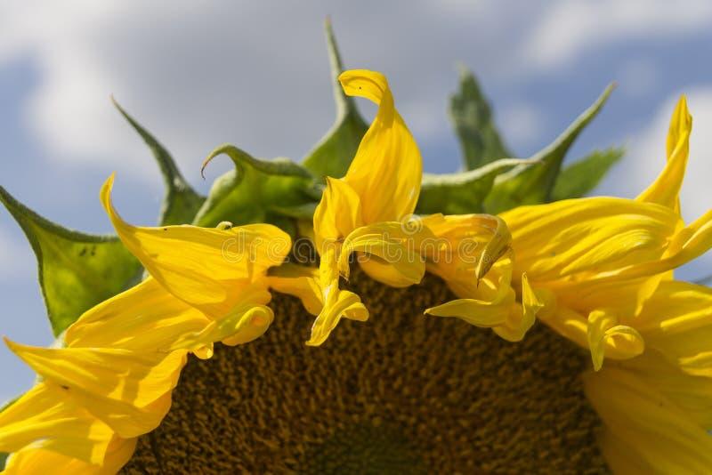 Helle gelbe Sonnenblumen Schließen Sie herauf Sonnenblume Nahes hohes der Sonnenblume stockfotografie