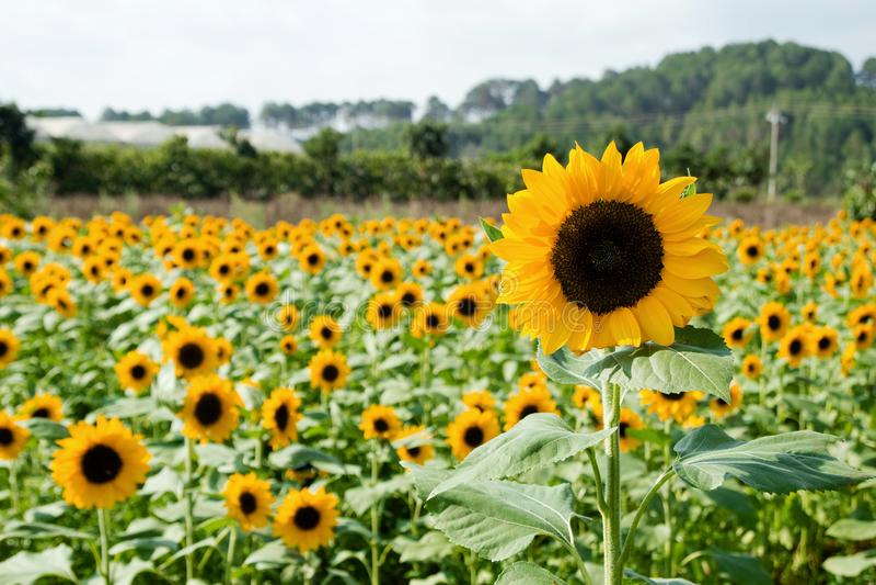 Helle gelbe Sonnenblumennahaufnahme auf einem Feld auf einem Hintergrund von Gärten und von Gewächshäusern stockfotos