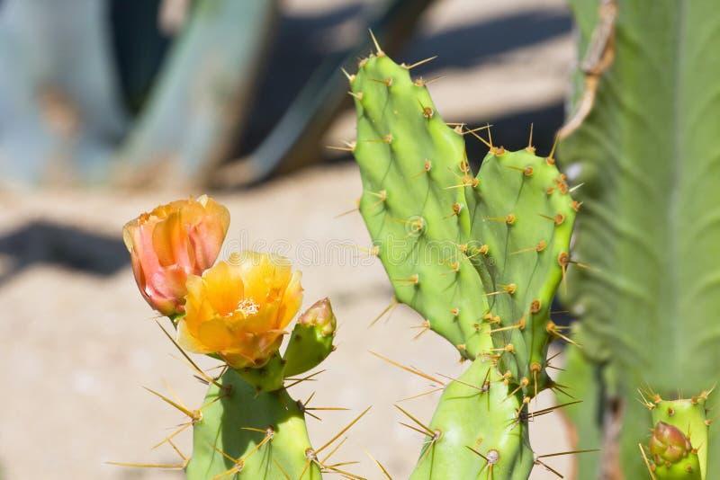Helle gelbe und orange Blume des Kaktus lizenzfreie stockbilder