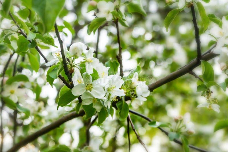 Helle Hintergrundniederlassung eines blühenden neuen niedrigen Bündels der weißen Blumen des Apfelbaums der Betriebsnahaufnahme stockfoto