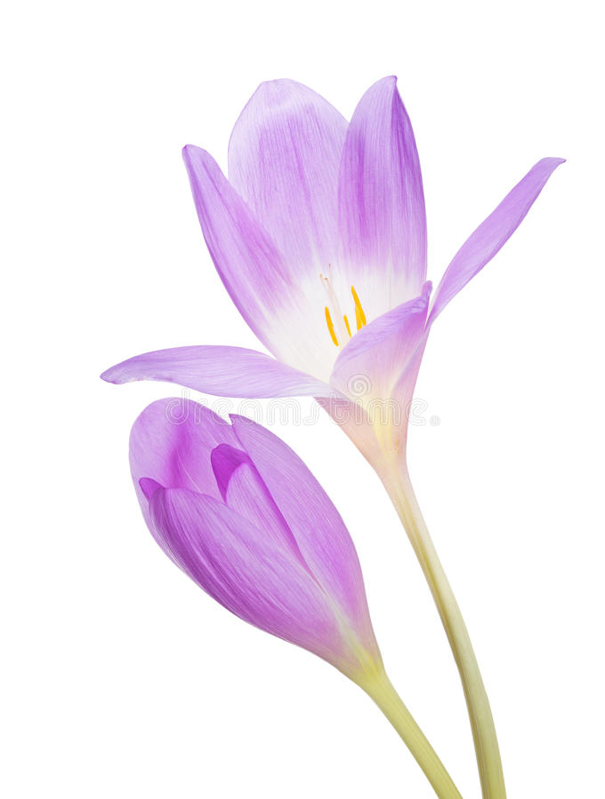 Helle Lila Blume Des Krokusses Zwei Lokalisiert Auf Weiß Stockbild ...