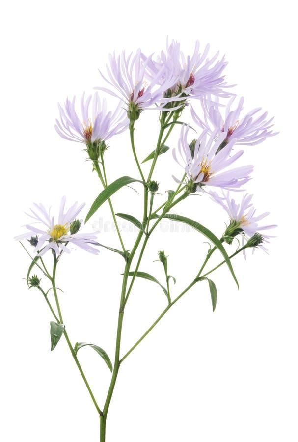 Helle Lila Wilde Blume Auf Weiß Stockbild - Bild von botanik ...
