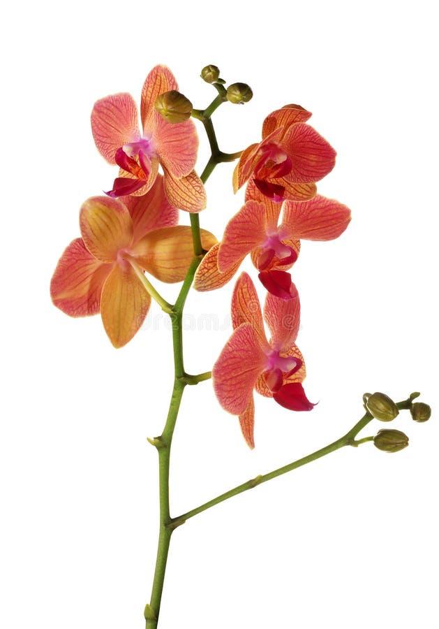 Helle lokalisierte rosa und orange Orchideenblumenniederlassung lizenzfreies stockfoto