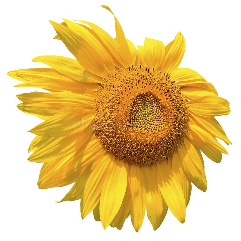 Helle lokalisierte Sonnenblume gegen weißen Hintergrund stockbilder
