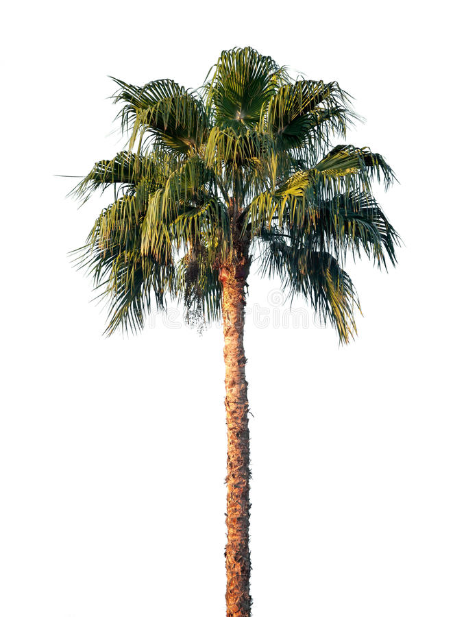 Helle Palme getrennt auf Weiß lizenzfreies stockfoto