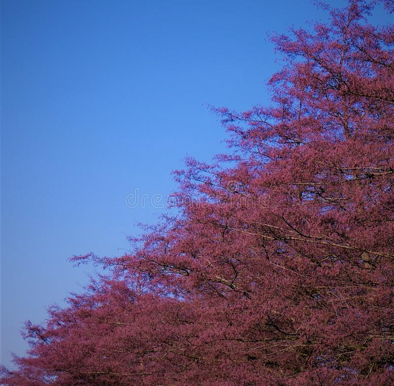 Helle purpurrote Baumaste und ein klarer blauer Himmel lizenzfreie stockfotos