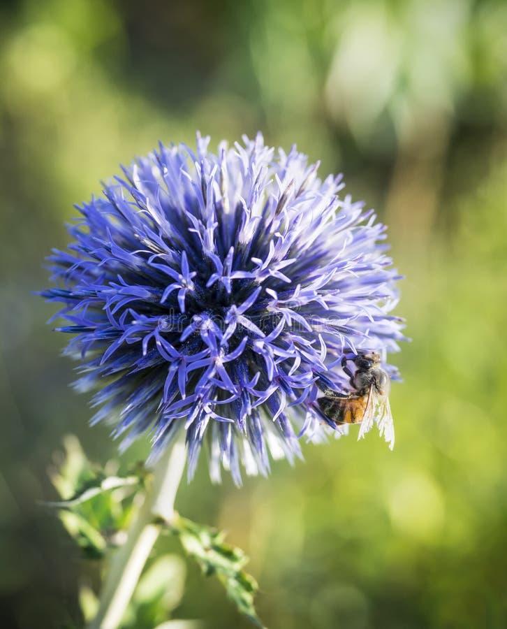 Helle purpurrote Kugel-Distel und Honigbiene lizenzfreie stockbilder