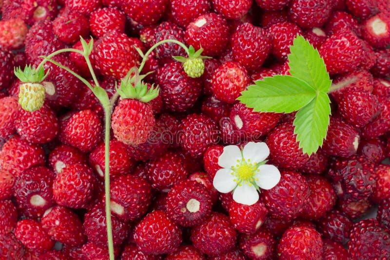Helle, reife, wilde Erdbeerbeeren, mit Blumen, Blättern, Plakatwand, sommerlicher Hintergrund stockfotos