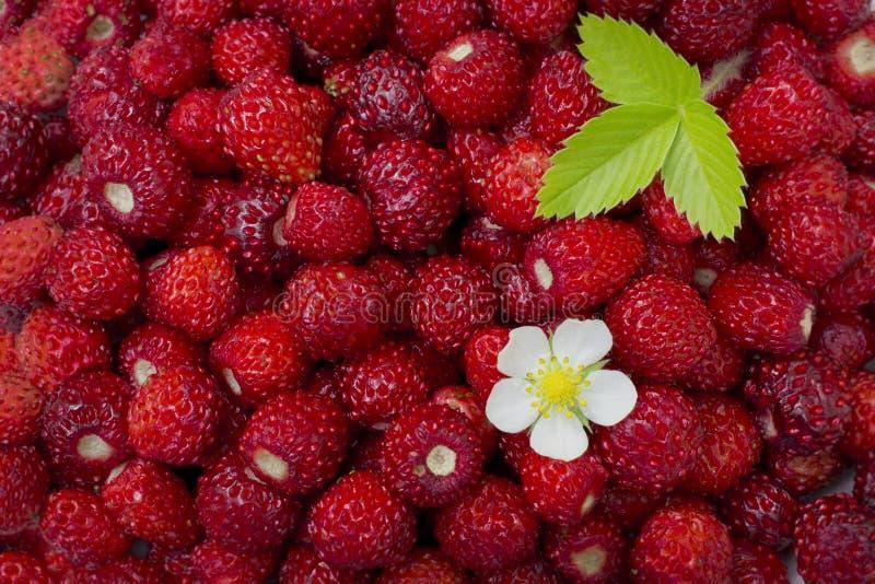 Helle, reife, wilde Erdbeerbeeren, mit Blumen, Blättern, Plakatwand, sommerlicher Hintergrund lizenzfreie stockbilder