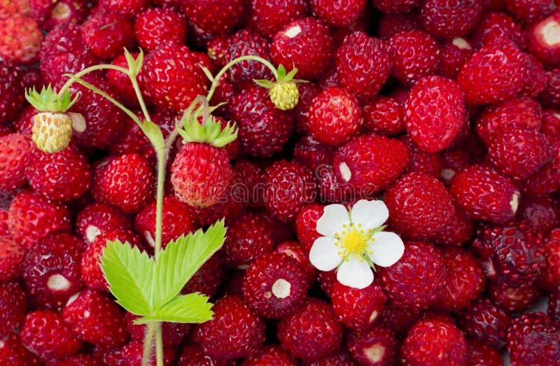 Helle, reife, wilde Erdbeerbeeren, mit Blumen, Blättern, Plakatwand, sommerlicher Hintergrund stockfoto