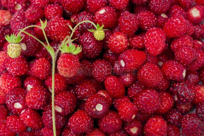 Helle, reife, wilde Erdbeerbeeren, mit Blumen, Blättern, Plakatwand, sommerlicher Hintergrund lizenzfreie stockfotos