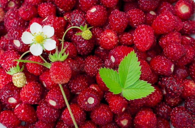 Helle, reife, wilde Erdbeerbeeren, mit Blumen, Blättern, Plakatwand, sommerlicher Hintergrund stockbilder