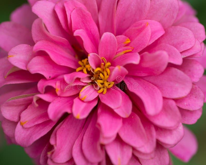 Helle rosa Blume der zwergartigen Mischder bettwäschedahlie der dahlie buschigen zwergartigen Blüte einzelnen in voller Blüte stockbilder