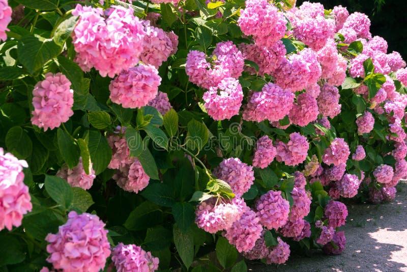 Helle rosa Hortensien lizenzfreie stockfotografie