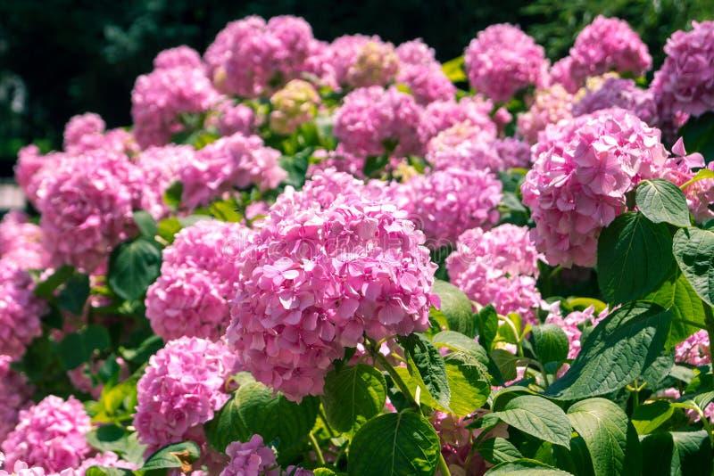Helle rosa Hortensien lizenzfreie stockfotos