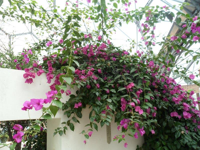 Helle rosa schleppende Blumen stockbilder