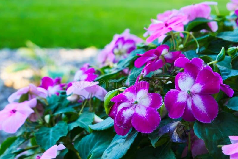 Helle rosa und weiße impatiens blüht - Bassaminaceae Impatiens stockfoto