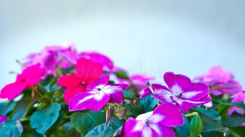 Helle rosa und weiße impatiens blüht - Bassaminaceae Impatiens lizenzfreies stockfoto