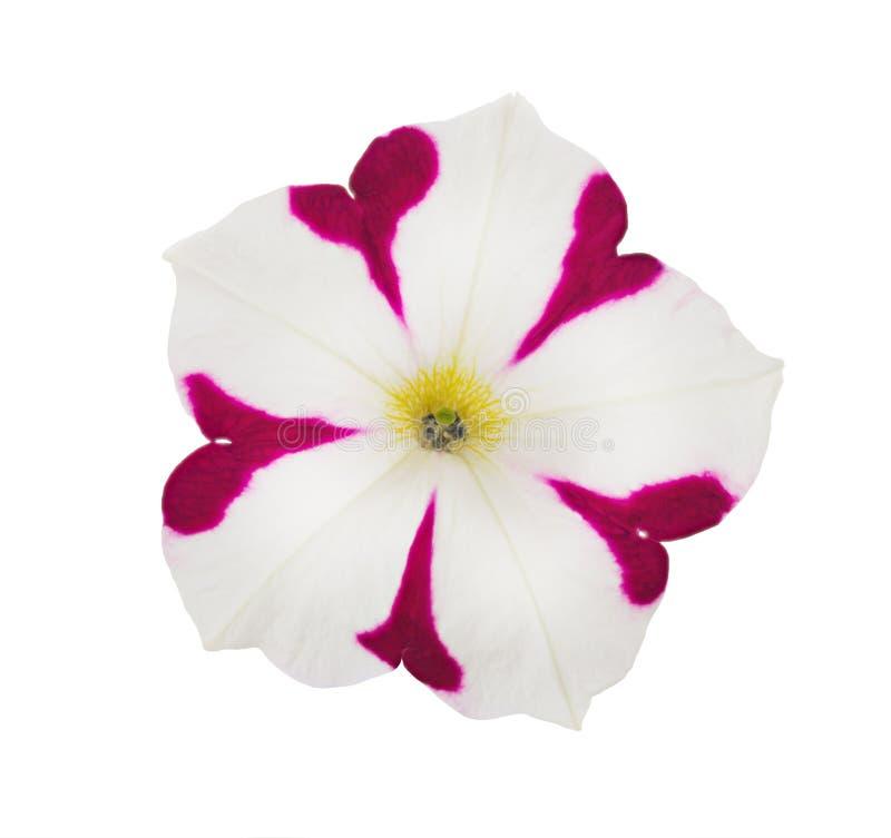 Helle rosa und weiße Petunien-Blume lokalisiert stockfotos