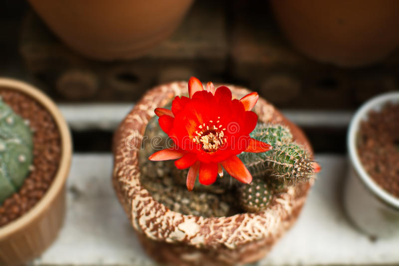 Helle rote Blumen, die auf Fackelkaktus blühen lizenzfreie stockfotografie
