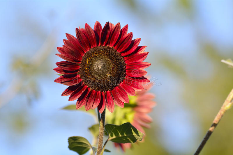 Helle rote Sonnenblume stockfotos