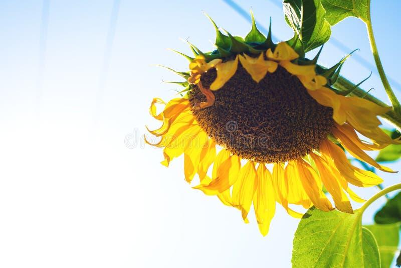 Helle Sonnenblume gegen den freien Raum des blauen Himmels lizenzfreies stockfoto