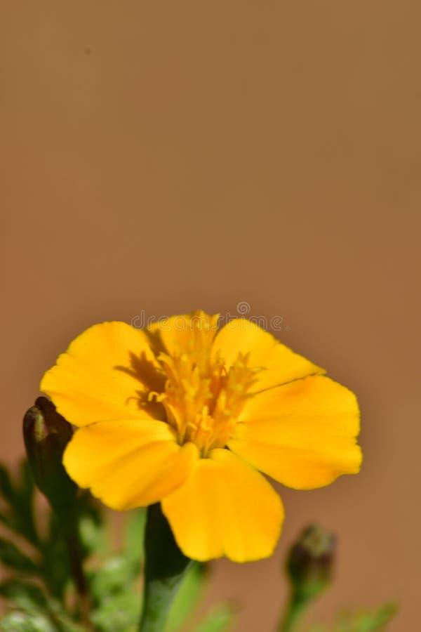 Helle und lebhafte gelbe Ringelblume stockfotografie