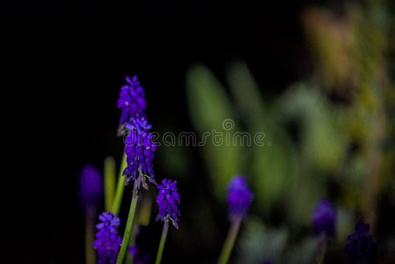 Helle und ungew?hnliche blaue und violette kleine Blumen auf einem monophonischen schwarzen Hintergrund Nacht, die in einem Garte lizenzfreie stockfotos