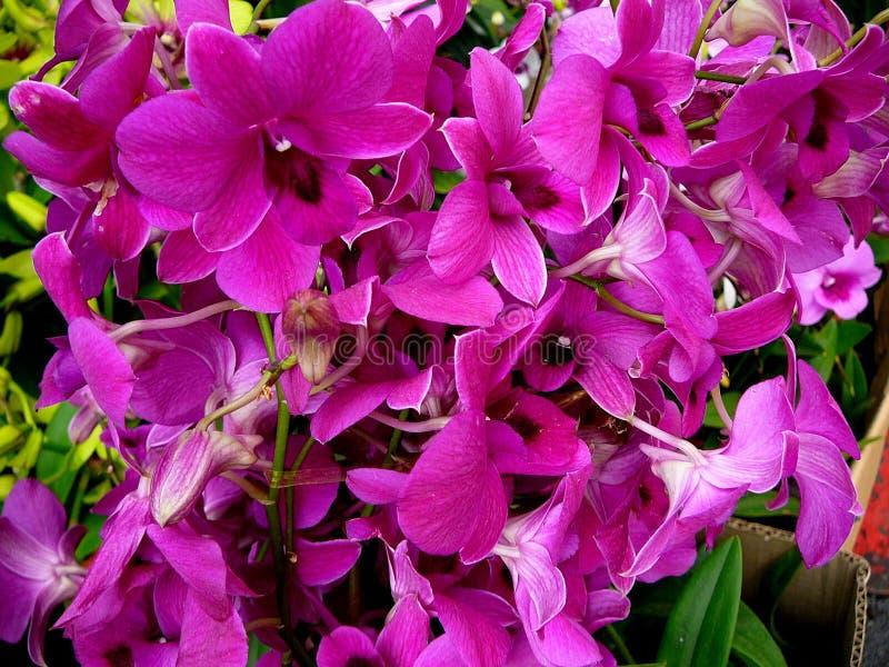 Helle Violet Pink Orchids stockfotografie