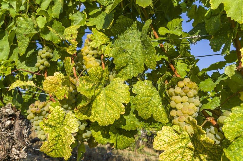 Helle weiße Trauben, Beeren und buntes Blatt an der Weinrebe, Nahaufnahme stockfotos