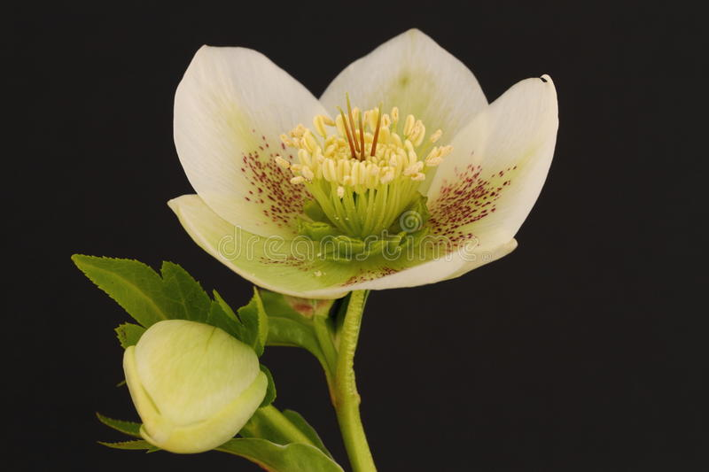 Hellebore flower. On a black background stock images