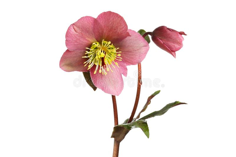 Hellebore flower and bud. Hellebore flower, bud and foliage isolated against white stock photos