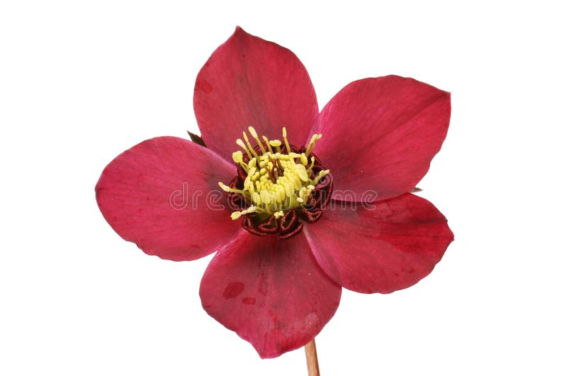 Hellebore flower closeup. Closeup of a dusky red hellebore flower isolated against white royalty free stock photo
