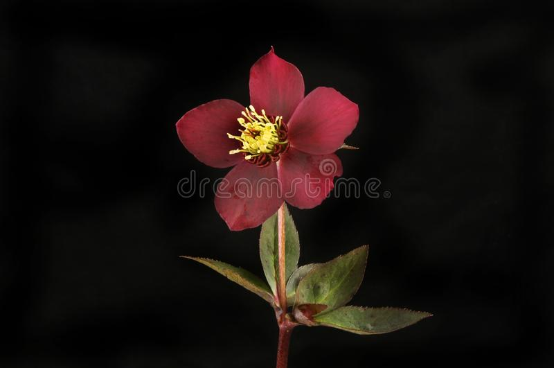 Hellebore flower and leaves against black. Hellebore flower and leaves isolated against a black background stock photo