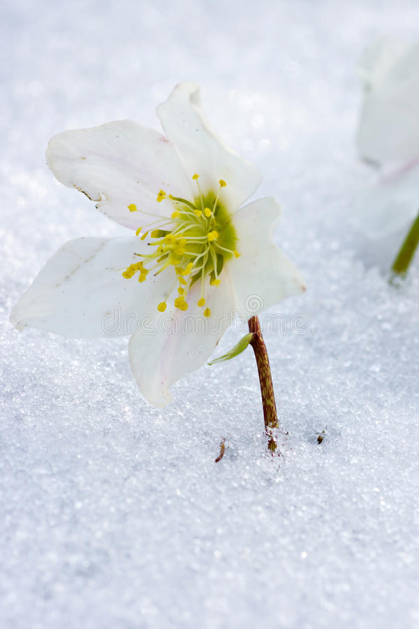 Hellebore flower in snow. Spring time is coming stock photography