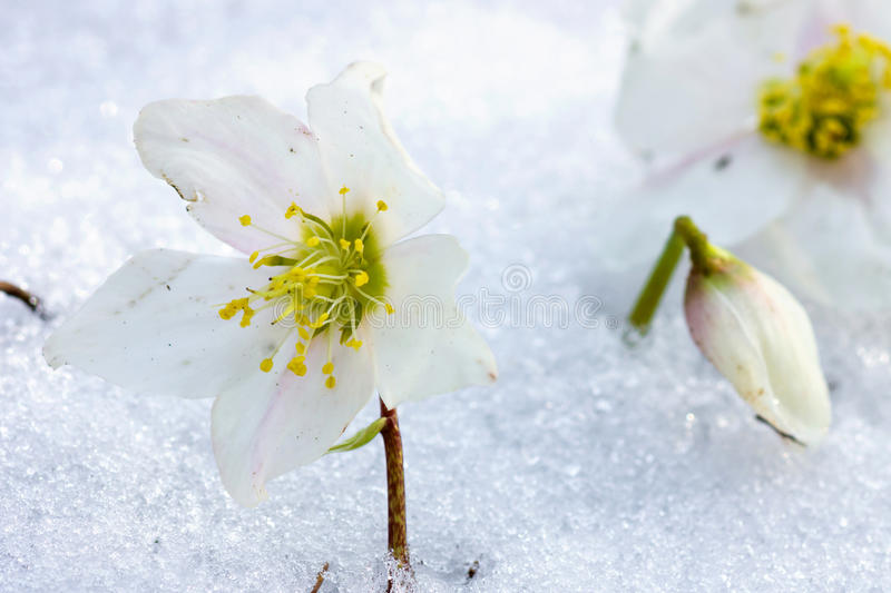 Hellebore flower in snow. Spring time is coming stock image