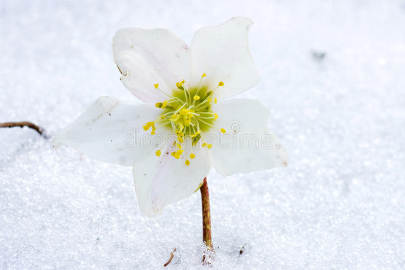 Hellebore flower in snow. Spring time is coming stock photo