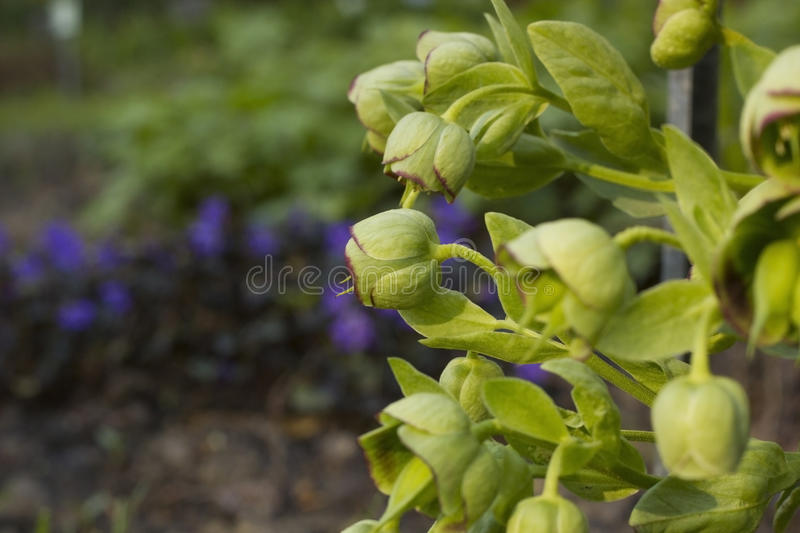 Hellebore flower. Spring day in garden royalty free stock photography