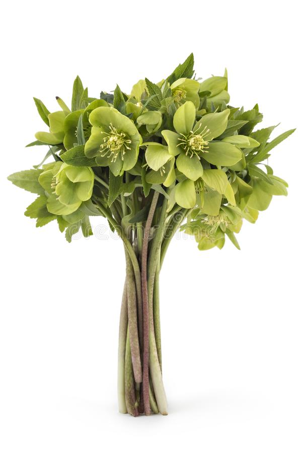 Hellebore frowers stock image