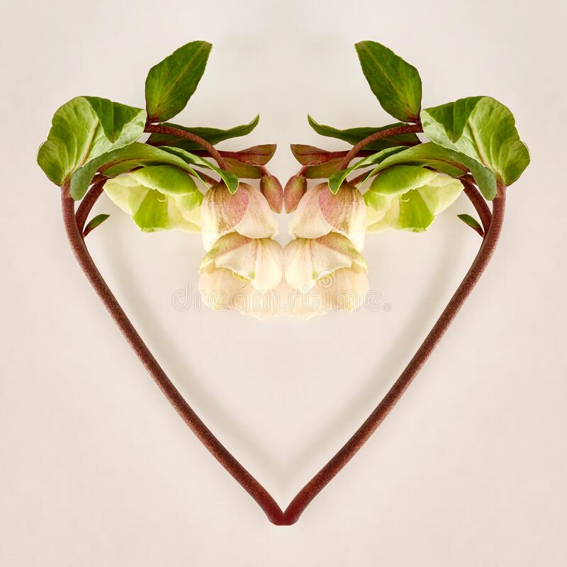 Hellebore Heart on White royalty free stock image