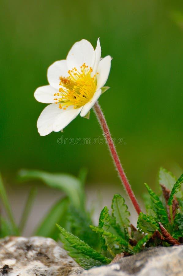 Hellebore (Helleborus niger). Christmas Rose or Hellebore (Helleborus niger) flower royalty free stock images