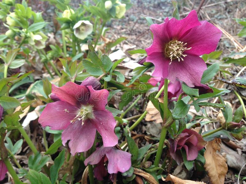 Hellebore Plant Blossoming in Spring at Central Park. Hellebore Plant Blossoming in Early Spring at Central Park in Manhattan, New York, NY royalty free stock photos
