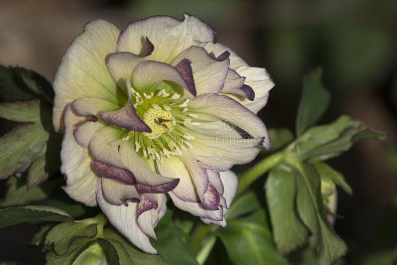 Helleboreblomma i malvafärgat och kräm- royaltyfri fotografi