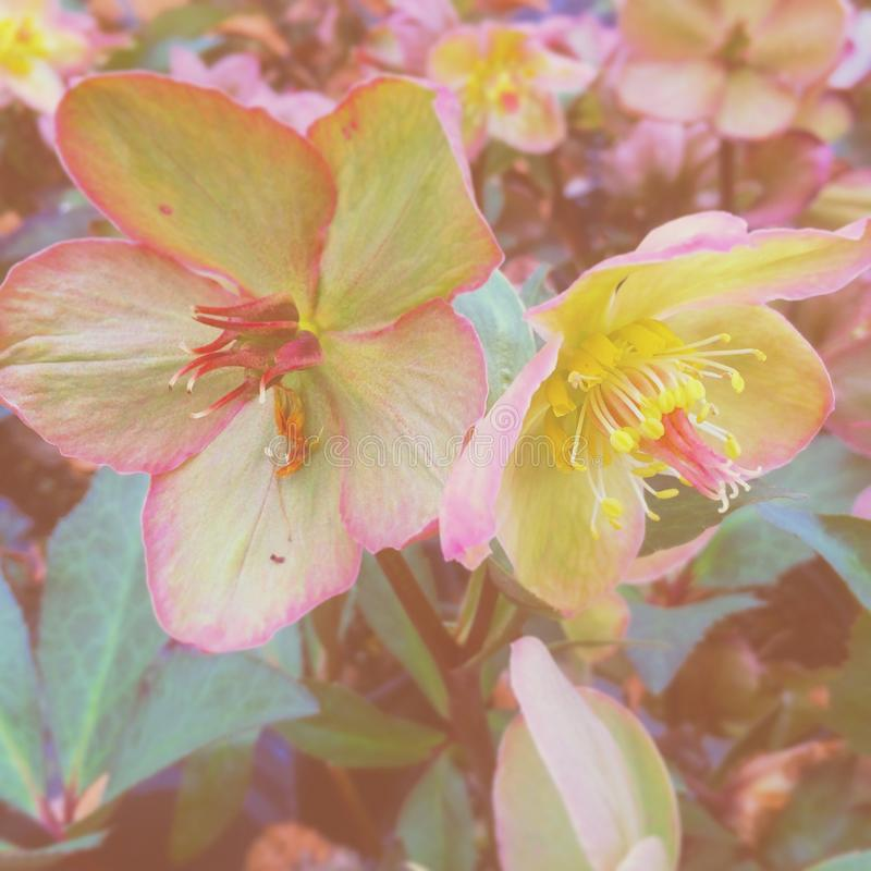 Hellebores images stock