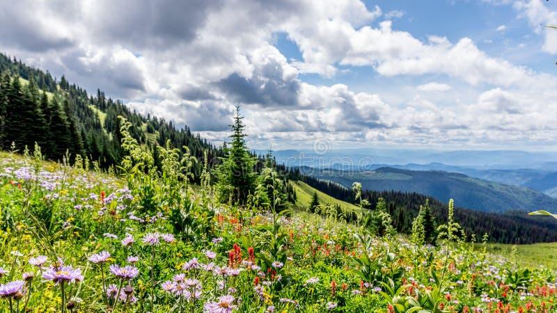 Helleboris, de Berg (Blad) Aster en de Indische Verfborstel bloeien in Hoge Alpien stock foto's